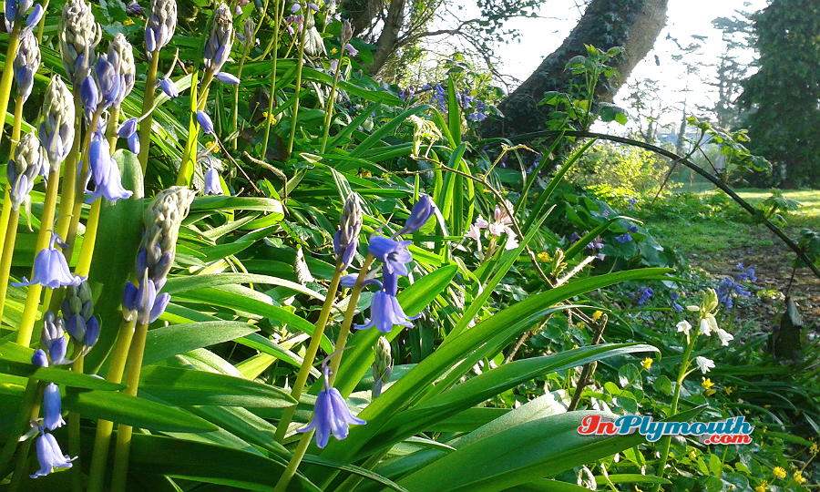 Bluebells in Central Park March 2017
